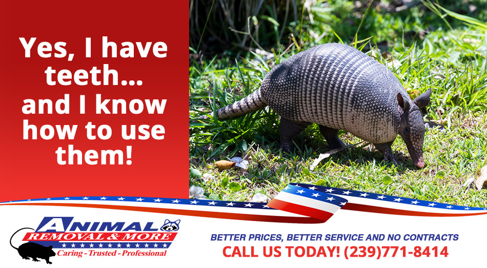 Armadillo Removal in and near Cape Coral Florida