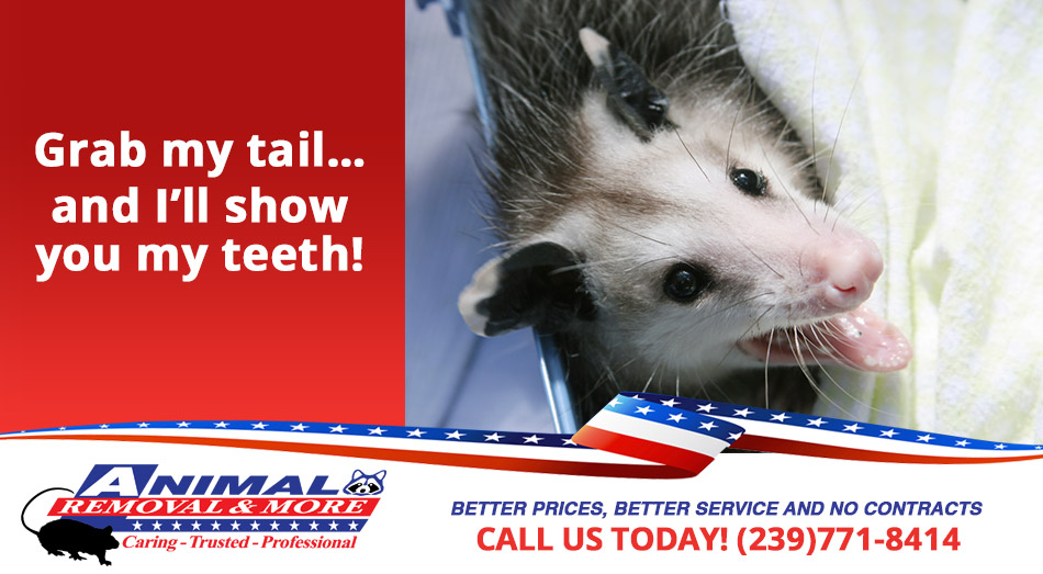 Opossum Removal in and near Cape Coral Florida
