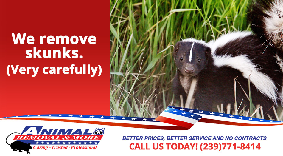 Skunk Removal in and near East Naples Florida