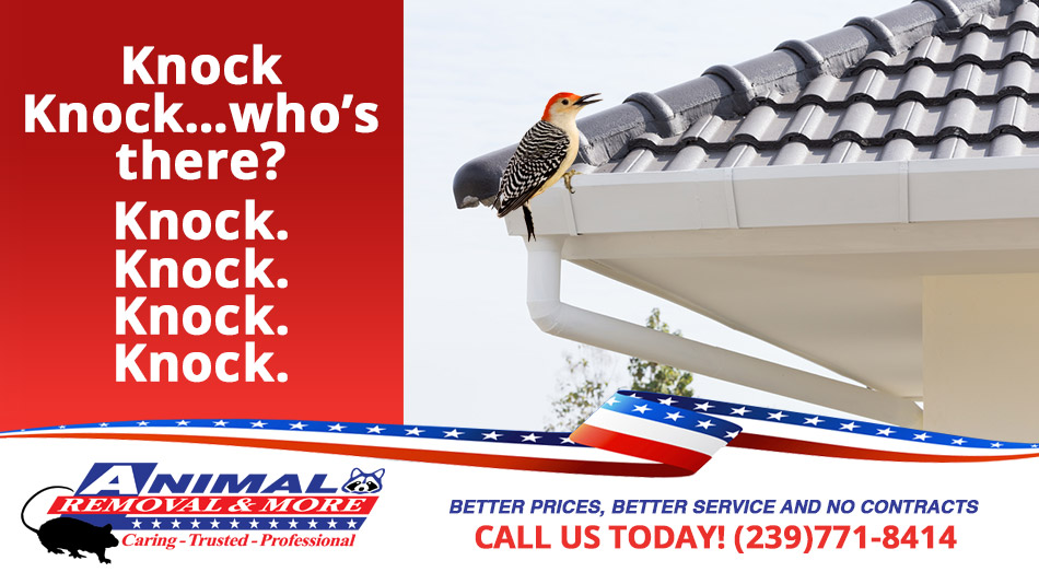 Woodpecker Removal in and near East Naples Florida