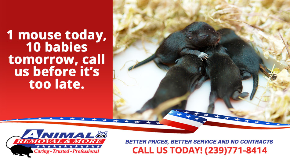Mouse Removal in and near Estero Florida