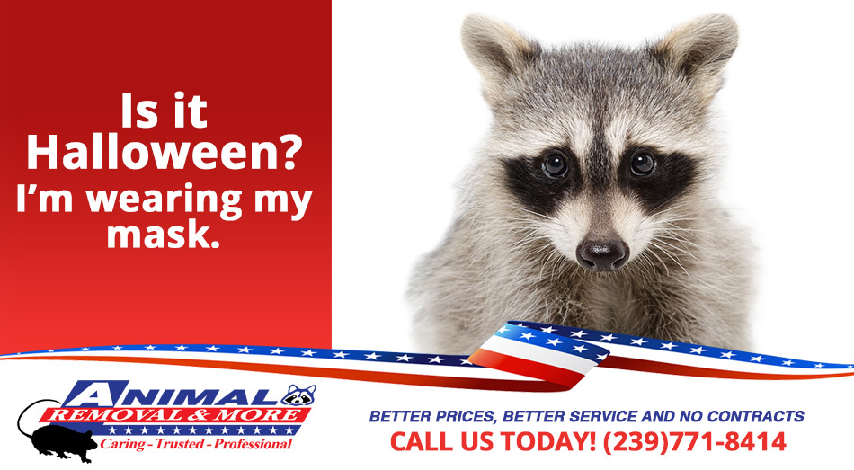 Raccoon Removal in and near Fort Myers Beach  Florida