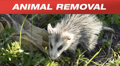 Animal Removal